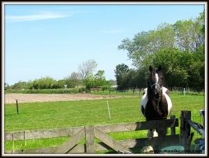 Tinker paard
