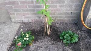 De framboos en aardbeien groeien ook lekker door.