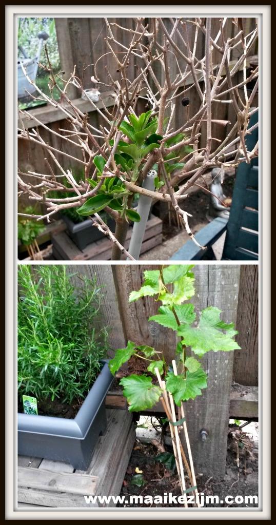 Boven: Olijfboom Beneden: Druif en rozemarijn