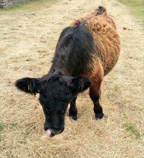Koe op Texel